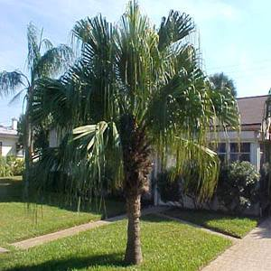 Palm tree guide with pictures
