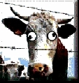 moo2.jpg